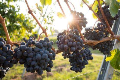 Winery and Vineyard